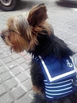 yorkshire avec veste harnais