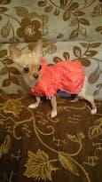 petit chien en manteau réversible