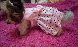 robe étoilée pour chienne
