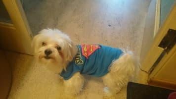 débardeur bleu superman pour chien