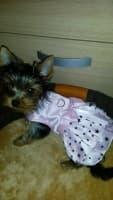 yorkshire porte une robe rose étoilée