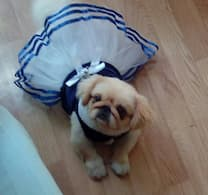 robe bleu de marine pour petit chien