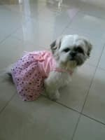 shih tzu habillé en robe rose avec étoiles imprimées