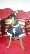 pinscher en smoking