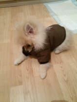 spitz habillé avec manteau réversible