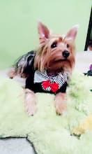 costume pour chien au col chemise et noeud rouge v t 39 chien. Black Bedroom Furniture Sets. Home Design Ideas
