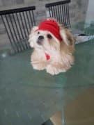 petit chien avec bonnet à pompon
