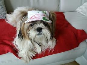 chapeau fleurs pour shih tzu