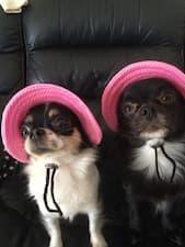 chapeau rose pour chihuahua
