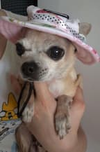 chapeau à fleurs sur chihuahua