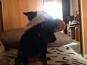 chapeau à fleurs pour petit chien