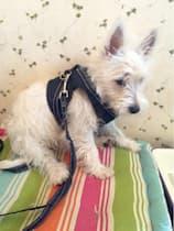 accessoire laisse et harnais en jean pour chien
