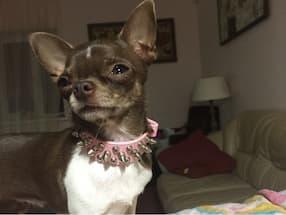 collier pour petit chien