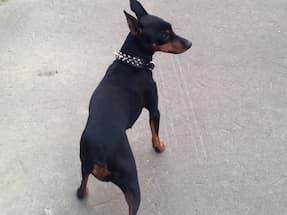 collier clouté pour petit chien