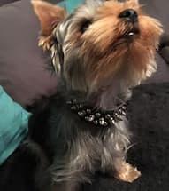 collier à rivets pour petit chien