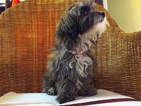 bijou de perles et strass pour petit chien