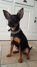 pinscher porte collier à clous