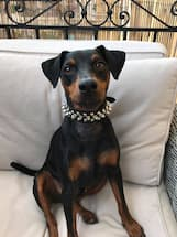 collier à pics pour petit chien
