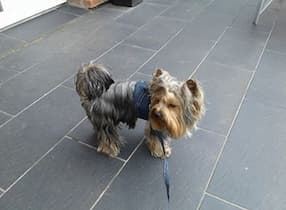 harnais et laisse en jean pour chien