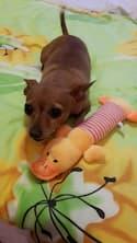 jouet en peluche pour petit chien
