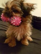 jouet haltère avec couineur pour chien