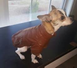 veste cuir marron pour chien