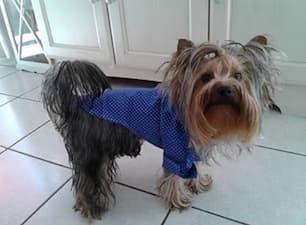 chemise stylée pour petit chien