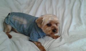 yorkshire en chemise en jean