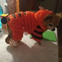 habit de tigre pour chien