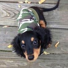 petit chien habillé en t-shirt camouflage