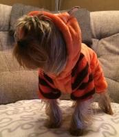 yorkshire en costume de tigre