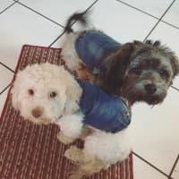 deux chiens en veste jean mode