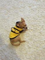 déguisement d'abeille pour chien