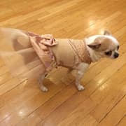 robe or avec strass pour chihuahua