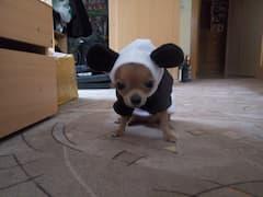 costume de panda pour petit chien