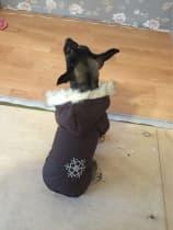 chihuahua en manteau double face