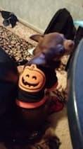 vêtement citrouille orange pour petit chien