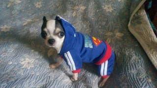 survêtement superman pour chien