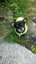 maillot foot brésil pour petit chien