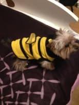 york habillé en abeille