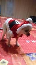 petit chien en costume de noel