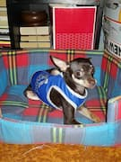 chihuahua porte un maillot adidog bleu