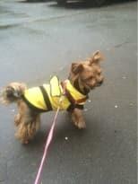 costume abeille pour petit chien