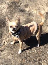 manteau matelassé pour chien frileux