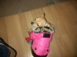 chihuahua habillé avec doudoune à capuche rose