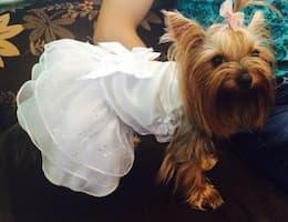 robe blanche à strass pour chien