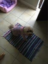 vêtement contre la pluie pour chien