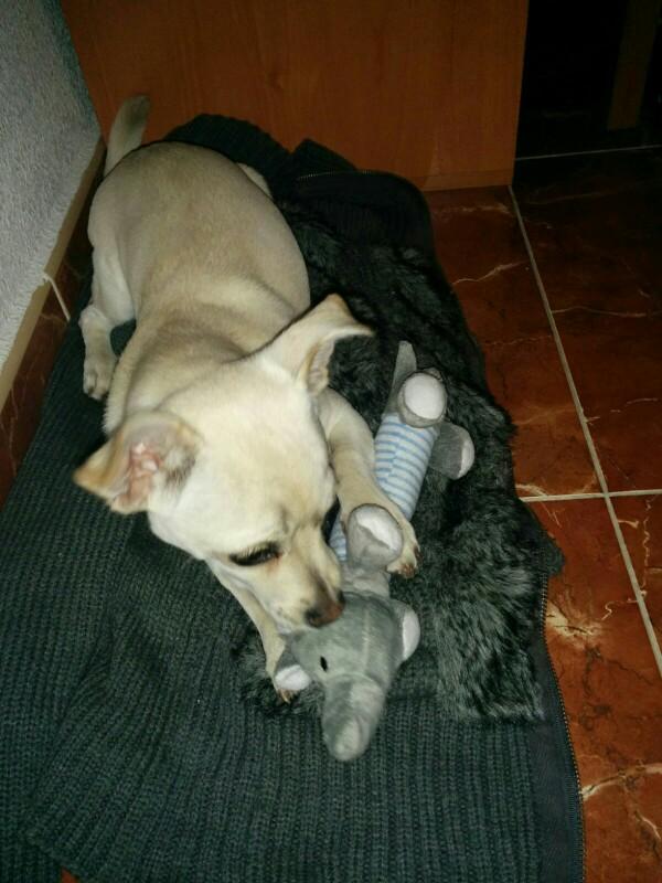 chien qui s'amuse avec un jouet en peluche