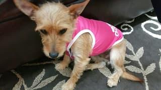 t-shirt adidog rose pour chien