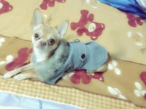 manteau gris avec col fourrure pour petit chien